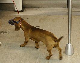 Pies jednego z pasażerów wprowadzany do składu metra. Zwierzę ma założony kaganiec i jest trzymane na smyczy.