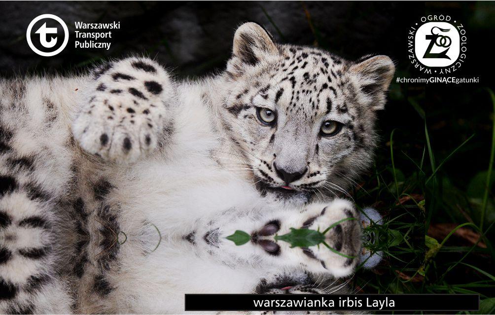 Layla #237